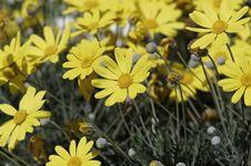 Free Yellow Daisy Royalty Free Stock Image - 30454736