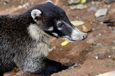 Free Coati Royalty Free Stock Images - 30459179
