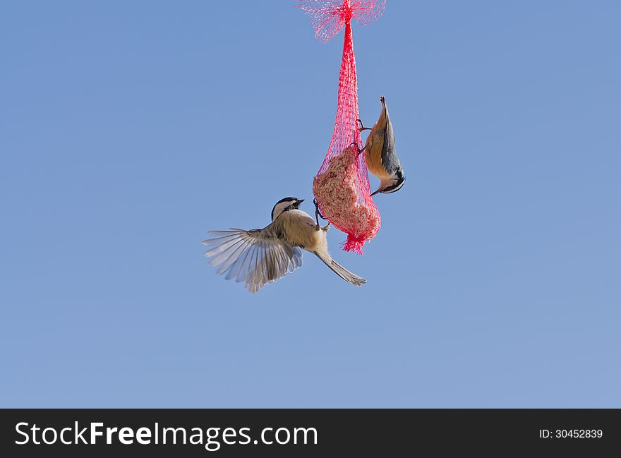 Chickadee with wings flapping and Nuthatch at Feed