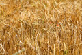 Free Ears Of Wheat Royalty Free Stock Images - 30466319