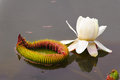 Free Water Lily Royalty Free Stock Photo - 30466685