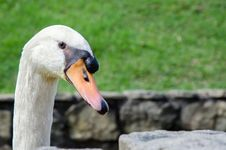 Free Head Of Swan Royalty Free Stock Image - 30462366