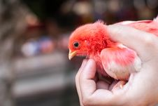 Free Chick In Hand Stock Photography - 30462392