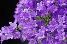 Free Anchusa Royalty Free Stock Image - 30462956