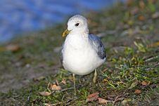 Free Sea Gull On Shore Stock Photos - 30463173