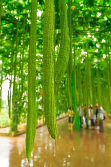 Free Towel Gourd Royalty Free Stock Image - 30466396