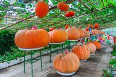 Free Ornamental Pumpkin Royalty Free Stock Photos - 30466418