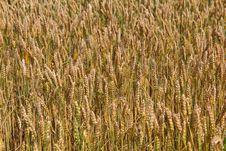 Free Wheat Field Royalty Free Stock Image - 30466486