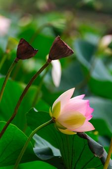 Free The Lotus And Seedpod Of The Lotus Royalty Free Stock Photography - 30466497