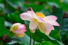 Free The Lotus In Full Bloom Stock Image - 30466541