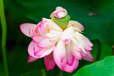 Free The Mimosa Bloom Lotus Royalty Free Stock Images - 30466659