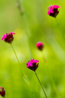 Free Wild Flower Royalty Free Stock Image - 30468596