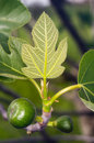 Free Unripe Fig Royalty Free Stock Photography - 30472917