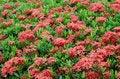 Free Ixora  Flower Royalty Free Stock Photo - 30477685