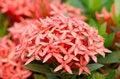 Free Ixora  Flower Stock Images - 30477694