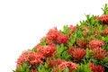 Free Ixora  Flower Royalty Free Stock Photography - 30477697