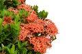 Free Ixora  Flower Stock Images - 30477704