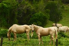 Two Palomino Breed Horses Grazing In Paddock Stock Photography