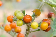Free Solanum Sanitwongsei Stock Photo - 30477640
