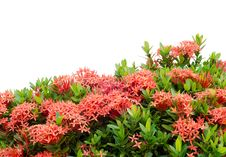 Free Ixora  Flower Stock Photography - 30477672