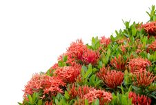 Free Ixora  Flower Royalty Free Stock Photography - 30477697