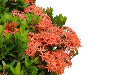 Free Ixora  Flower Stock Images - 30477704