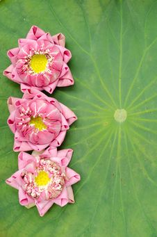 Free The Art Of Folding Lotus Petals Royalty Free Stock Image - 30477996