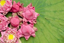 Free The Art Of Folding Lotus Petals Stock Photography - 30478042