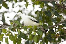 Free Pied Imperial Pigeon Stock Photography - 30479202