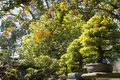 Free Chinese Elm &x28;Ulmus Parvifolia&x29; Bonsai In The Garden Stock Photography - 30480872