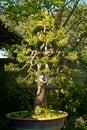 Free Conifer Bonsai Tree Stock Photography - 30481022