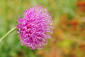 Free Thistle Stock Images - 30483134