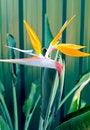 Free Bird Of Paradise Or South African Crane Flower, Bo Stock Photos - 30489783