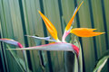 Free Bird Of Paradise Or South African Crane Flower, Bo Stock Photo - 30489910