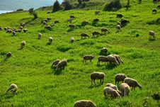 Free Green Meadow And Sheep Grazing Stock Image - 30481521