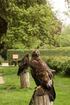Free Harris S Hawk Royalty Free Stock Images - 30488089
