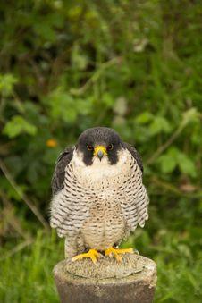 Free Falcon Royalty Free Stock Photo - 30488105