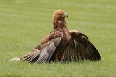 Free Harris S Hawk Royalty Free Stock Photography - 30488117