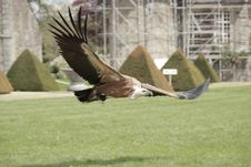 Free Griffon Vulture Royalty Free Stock Photography - 30488127