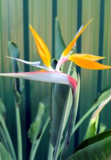 Bird Of Paradise Or South African Crane Flower, Bo Stock Photos