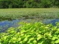Free Beautiful Summer Pond Royalty Free Stock Photo - 30494365
