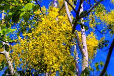 Free Golden Shower Tree. Stock Photos - 30492973