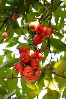 Bunch Of Syzygium Samarangense. Stock Photography