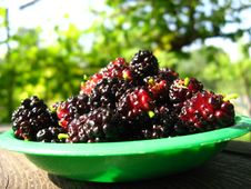 Free Ripe Dark Berries Of Mulberry On A Plate Royalty Free Stock Image - 30494606