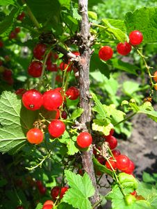 Free Berry Of A Red Currant In A Hand Stock Photo - 30495190