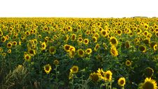 Free Field With Sunflowers Stock Photo - 30495250