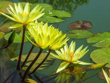 Free Lotus Flower Royalty Free Stock Photos - 30496178
