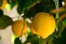 Free Lemons Stock Image - 30498811