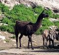 Free Young Llama Stock Photography - 3058252
