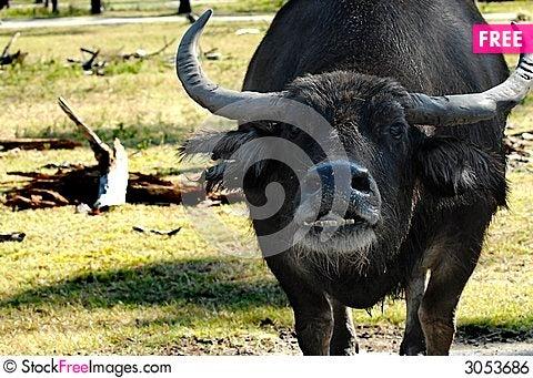 Free Bull Royalty Free Stock Image - 3053686